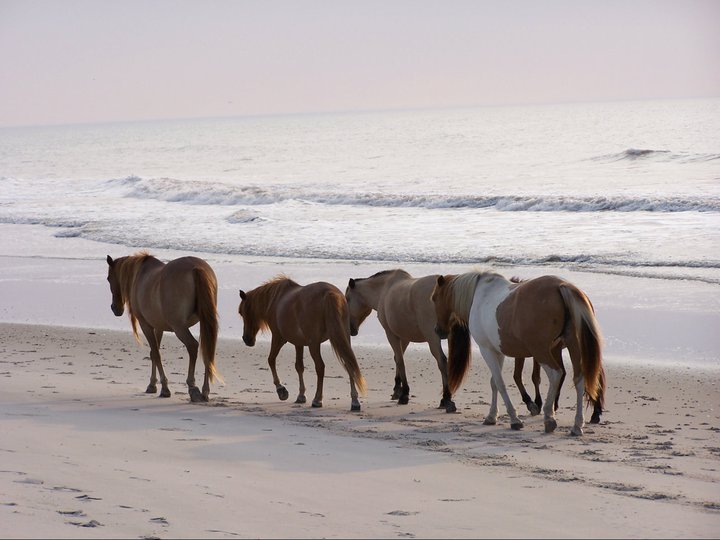 Camp on Assateague Island to enjoy the wild ponies.